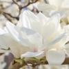 白い花をつける樹木(庭木)22選【写真付き】